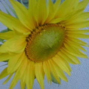 Sonnenblumensamen von der Personalmesse