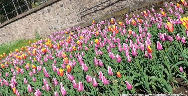 Tulpen-Schoental-aschaffenburg